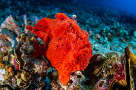 Brightly Colored Painted Frogfish (antennarius pictus) on a Tropical Coral Reef (Gato Island) Reklamní fotografie - 129539641
