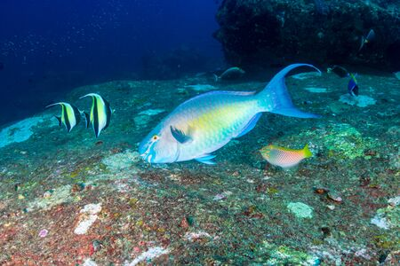 Parrotfish on a coral reef