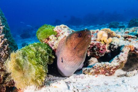 Moray Eel on a dark tropical coral reef at dawn