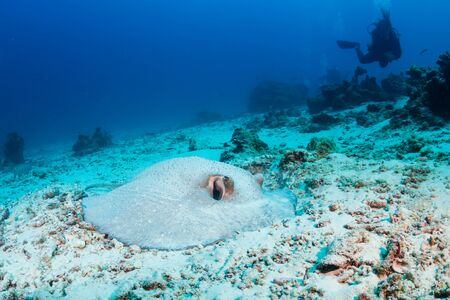 A Porcupine Stingray hiding in the sand on a coral reef