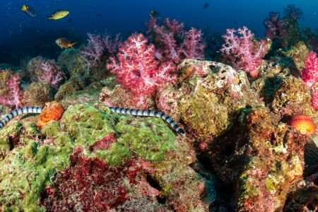 Banded Sea Snake on a tropical coral reef in Thailand