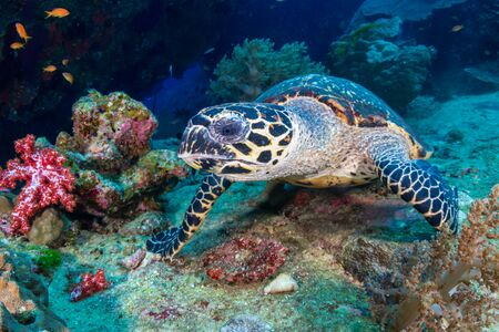 Hawksbill Sea Turtle feeding on soft corals on a tropical coral reef Reklamní fotografie