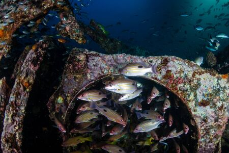 Schools of colorful tropical fish around an old underwater shipwreck in a tropical ocean