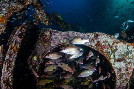 Schwärme von bunten tropischen Fischen um ein altes Unterwasserschiffswrack in einem tropischen Ozean