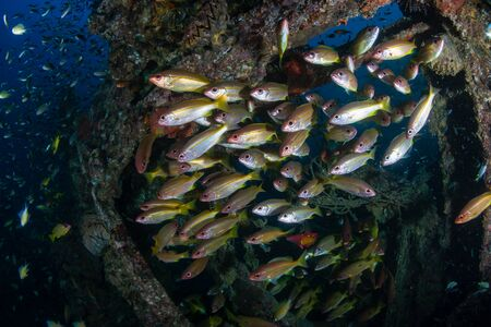 Schools of colorful tropical fish around an old underwater shipwreck in a tropical ocean Reklamní fotografie - 129514110