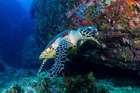 Tortue imbriquée se nourrissant de coraux mous sur un récif de corail tropical