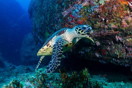 Tortuga carey alimentándose de corales blandos en un arrecife de coral tropical