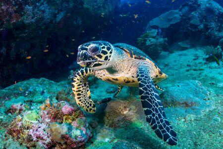 Hawksbill Sea Turtle che si nutre di coralli molli su una barriera corallina tropicale