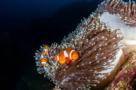 A family of cute Clownfish in their home anemone on a tropical coral reef in the Andaman Sea Reklamní fotografie - 129513893