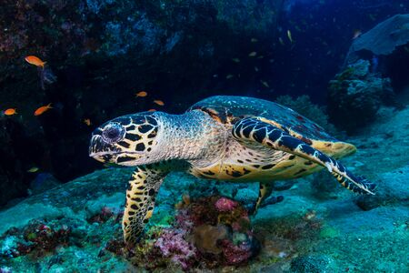 Hawksbill Sea Turtle feeding on soft corals on a tropical coral reef Stockfoto