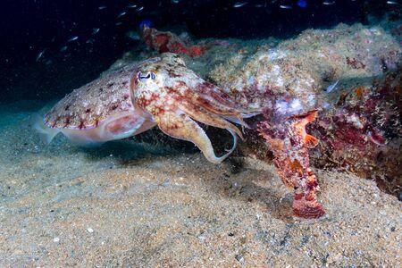 Cuttlefish feeding on a Scorpionfish on an underwater shipwreck Archivio Fotografico - 129513617