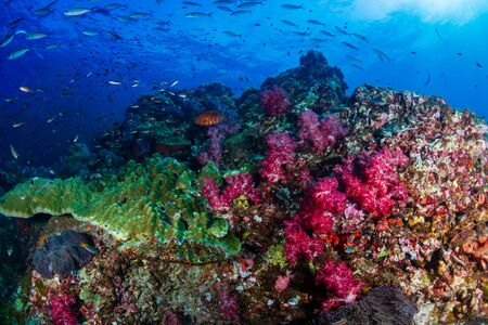 Tropical fish swimming around a healthy, colorful coral reef Stockfoto