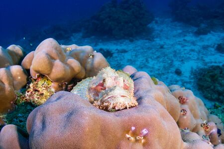 Scorpionfish hiding on a colorful coral reef Stock Photo