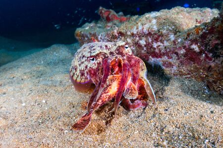 Cuttlefish feeding on a Scorpionfish on an underwater shipwreck Archivio Fotografico - 129513191