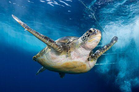 Groene zeeschildpad achter een SCUBA-duikboot in een tropische oceaan Stockfoto