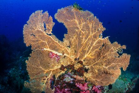 Delicate Gorgonian Sea Fans on a Tropical Coral Reef Stockfoto
