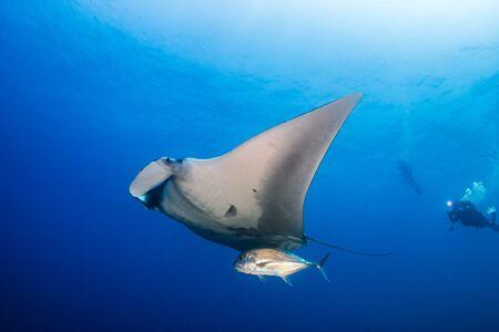 Gran manta raya oceánica con buceador de fondo