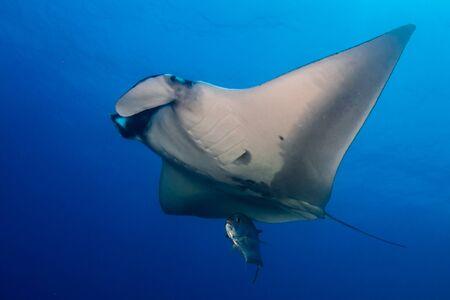 Large Oceanic Manta Ray with Background Scuba Diver Reklamní fotografie