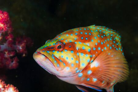 Close Up of a Coral Grouper on a Coral Reef