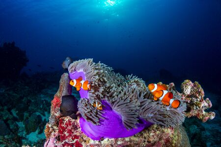 Clownfish in their host anemone on a tropical coral reef