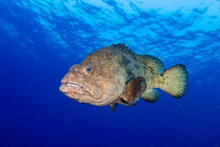 Large Grouper Underwater in a Tropical Ocean Reklamní fotografie - 129498480