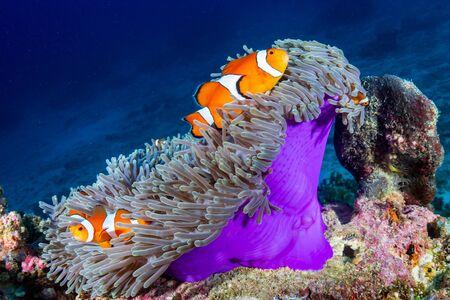 Błazenki w swoim gospodarzu ukwiały na tropikalnej rafie koralowej