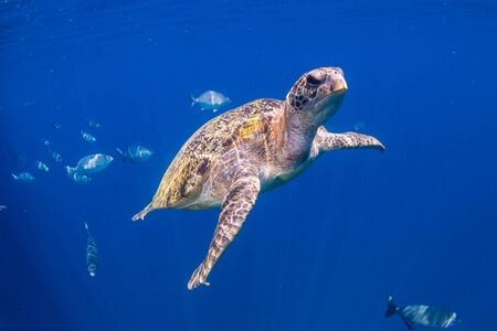 Green Sea Turtle in a Shallow Ocean