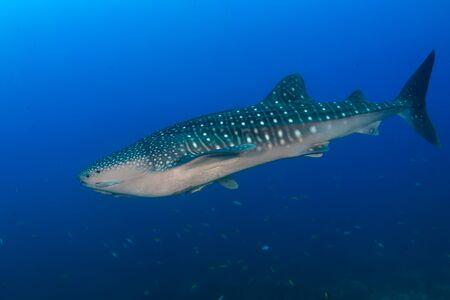 Large Whaleshark (Rhincodon typus) in a blue, tropical ocean (Koh Tachai, Similan Islands)