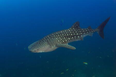 Large Whaleshark (Rhincodon typus) in a blue, tropical ocean (Koh Tachai, Similan Islands) Stock Photo