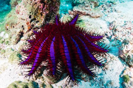 Crown of Thorns Starfish feeding on hard corals on a tropical reef in Thailand