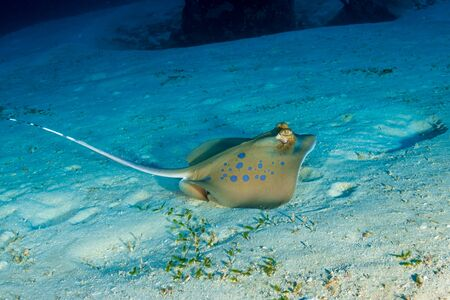Stingray de Kuhl sur un fond sablonneux sur un récif de corail tropical