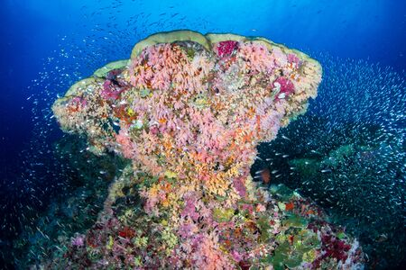Beautiful, colorful soft and hard corals on a tropical coral reef (Koh Bon, Similan Islands)