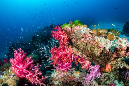 Beautiful, colorful corals on a tropical coral reef in the Similan Islands Stock Photo