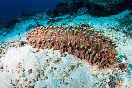 Un gran pepino de mar alimentándose de la arena de un arrecife de coral tropical en Tailandia