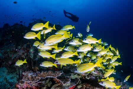 SCUBA divers on a colorful, tropical coral reef in Thailand