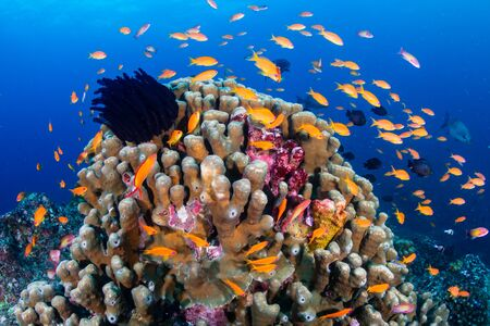 Beautiful, colorful corals on a tropical coral reef in the Similan Islands