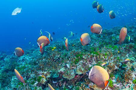 Eine Schule von Rotschwanz-Falterfischen an einem tropischen Korallenriff