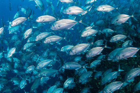 Large school of Jacks on a dark tropical coral reef (Richelieu Rock, Thailand)