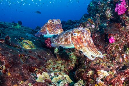 Cuttlefish on a colorful tropical coral reef Stock Photo