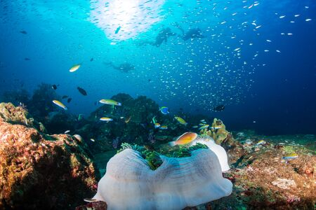 SCUBA Divers su una colorata barriera corallina tropicale nelle Isole Similan della Thailandia