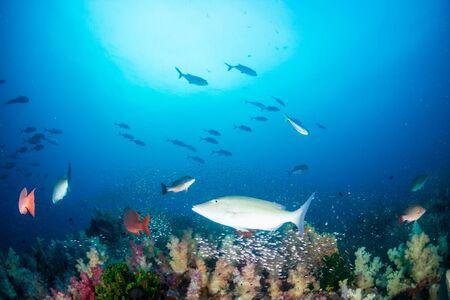 태국 리슐리외 락의 암초에 있는 다채로운 단단하고 부드러운 산호