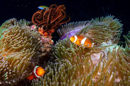 Family of Clownfish on a murky coral reef in Asia Banco de Imagens
