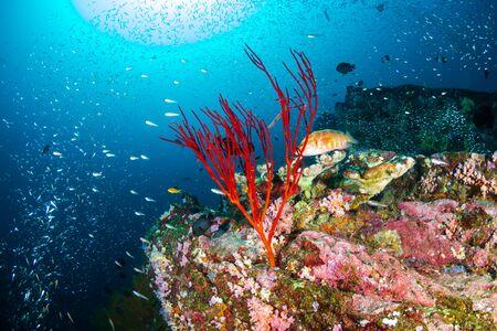 Colorful, healthy tropical coral reef at Koh Bon, Similan Islands
