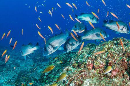 Sweetlips en un arrecife de coral tropical en Tailandia