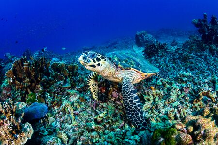 Hawksbill Sea Turtle feeding on a hard coral reef Stock fotó