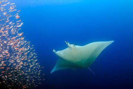 Large Female Oceanic Manta Ray (Manta birostris) swimming through tropical fish on a coral reef (Koh Bon, Similan Islands) Stock Photo