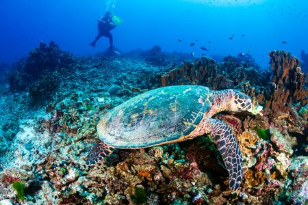 Hawksbill Sea Turtle feeding on a coral reef with background SCUBA diver Фото со стока