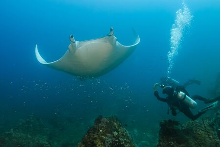 Female SCUBA diver photographing a large Oceanic Manta Ray on a coral reef in Thailand