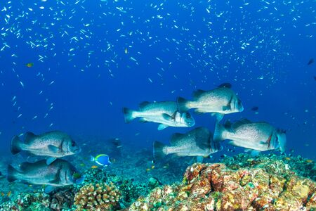 Sweetlips on a tropical coral reef in Thailand