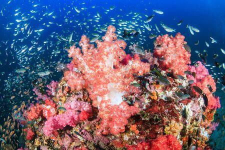 Beaux coraux durs et mous entourés de poissons tropicaux sur un récif tropical coloré et sain en Thaïlande